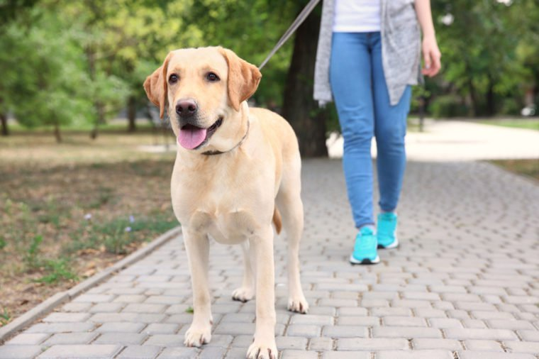Woman walking Labrador Retriever on lead in park
