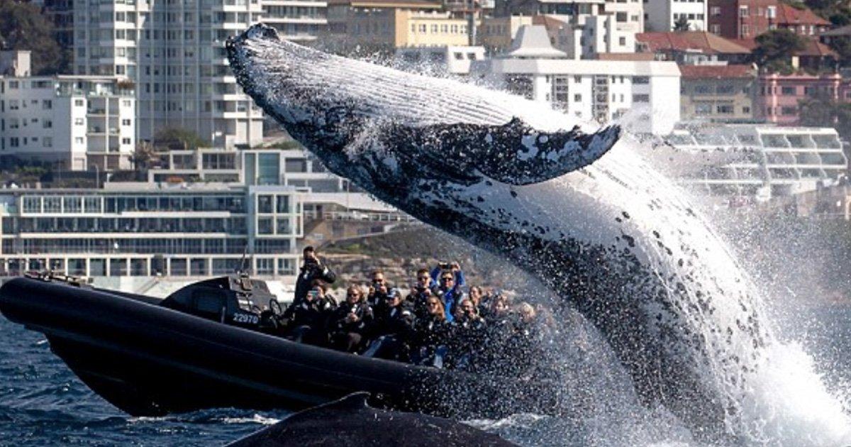 a 12.jpg?resize=412,232 - Momento inacreditável em que baleia jubarte gigante salta para fora d'água pertinho de barco lotado de turistas