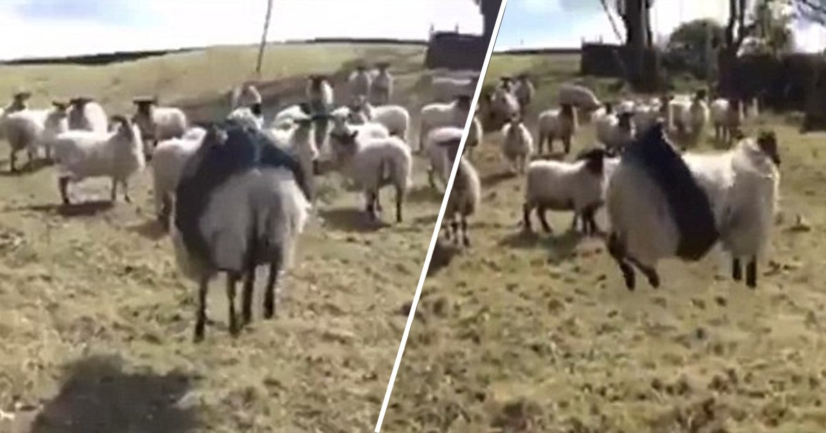 ahah.jpg?resize=1200,630 - This Was The Lamest Idea: The Sheep Tended From One Side To Another After Being Trapped In A Tyre Swing