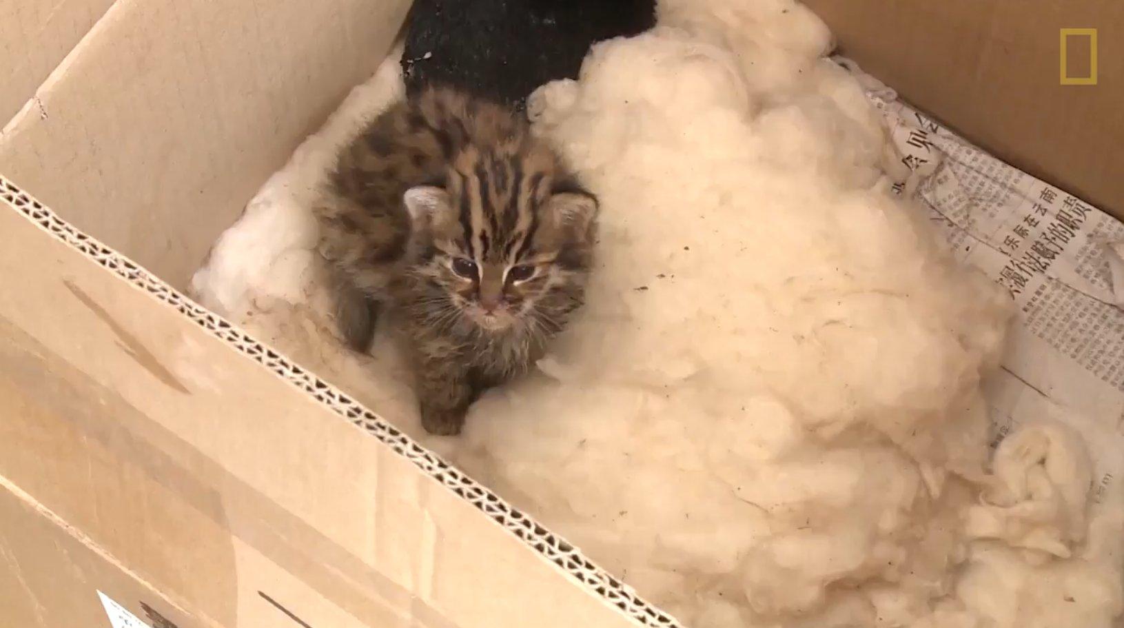 b1.png?resize=1200,630 - Homem resgata um gatinho filhote na China, mas 3 dias depois descobre que ele não é um gato comum