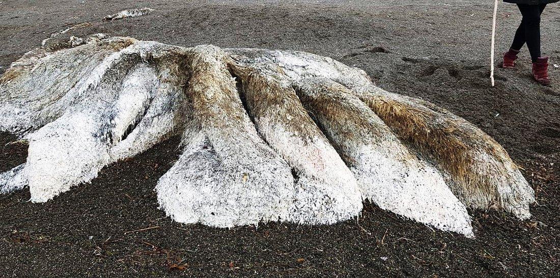 b3 6.jpg?resize=300,169 - Bizarra criatura marinha aparece em uma praia na Rússia e ninguém sabe dizer o que é