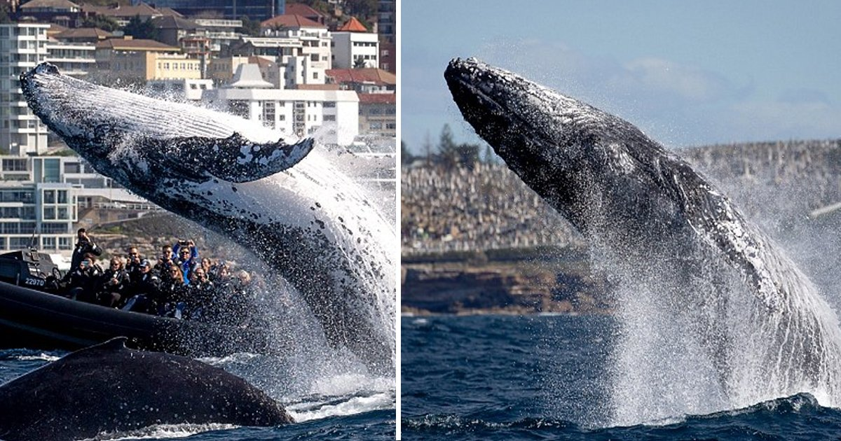 bhha.jpg?resize=636,358 - Giant 20-tonne Leaps In The Water Near To Tourist Boat In Bondi Beach