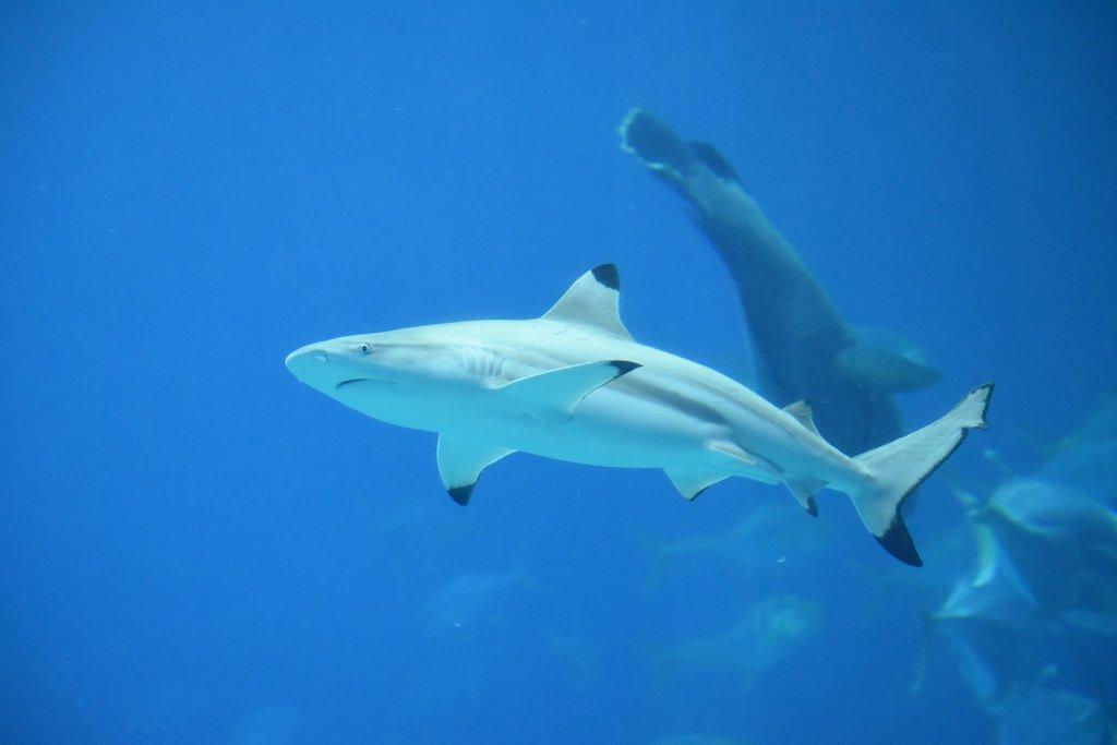 blue-sharks-1