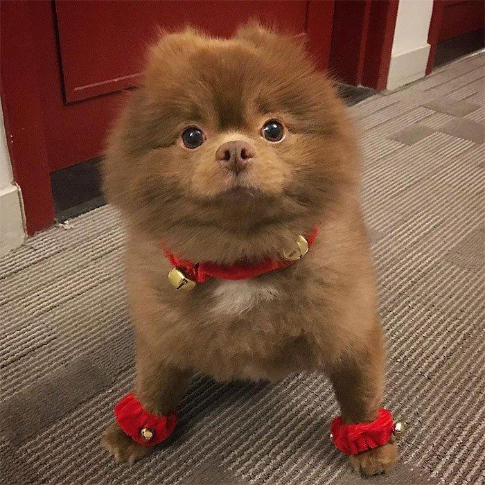 dog-cute-bertram-the-pomeranian-bertiebertthepom-2