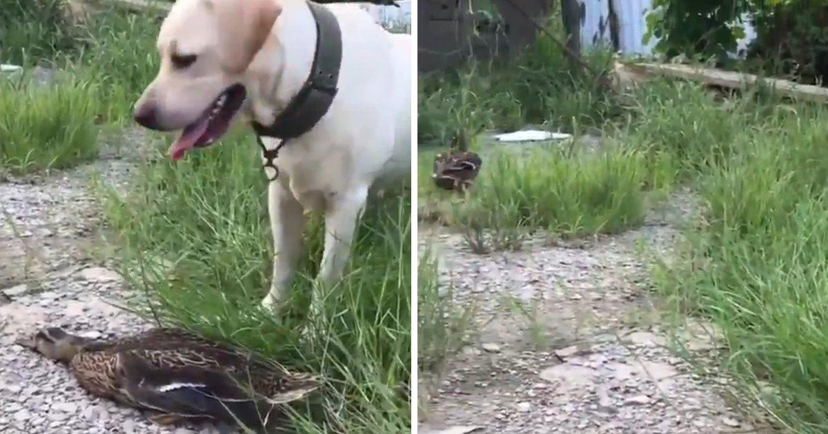 capa00000tf.png?resize=1200,630 - Vídeo hilário mostra pato se fingindo de morto para não ser atacado por um cão