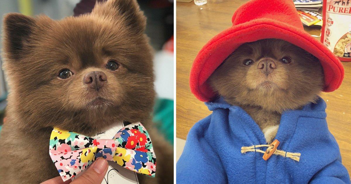 capa00000tfe.png?resize=1200,630 - Esse Lulu da Pomerânia é uma estrela no Instagram por se parecer com um ursinho