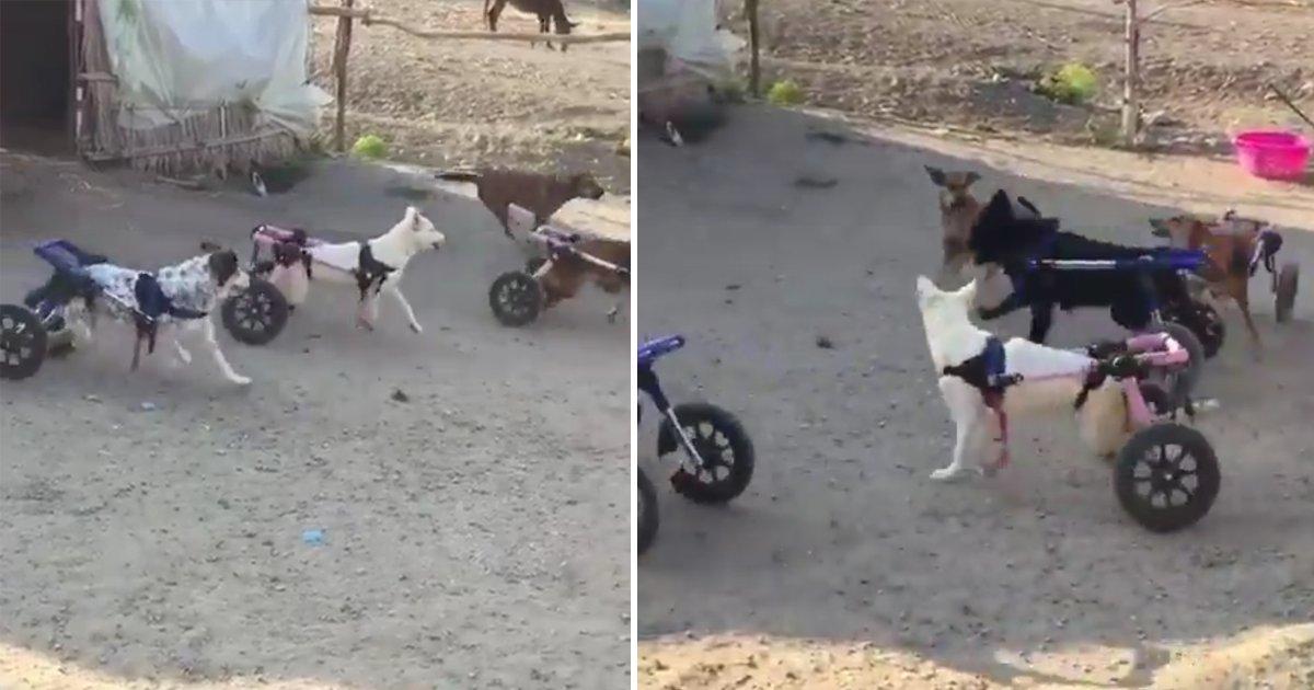 capa1 1.png?resize=1200,630 - Cachorros em cadeiras de rodas brincam juntos em um abrigo de animais