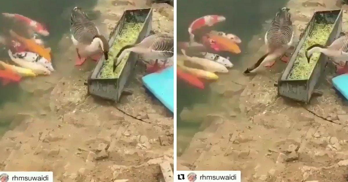 capa3 1.png?resize=636,358 - Flagra adorável mostra pato ajudando peixes a comer