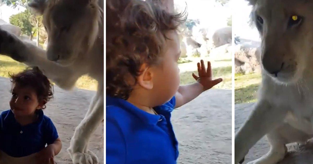 capa764895.png?resize=300,169 - Leão tenta atacar um garotinho por trás de um vidro e ele não dá a mínima bola