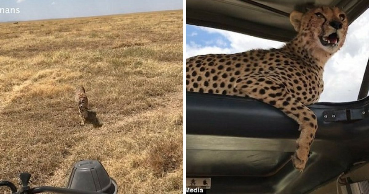cheetah5.png?resize=636,358 - Cheetah Jumps On A Jeep On A Safari, Sits And Poses For A Selfie With Family