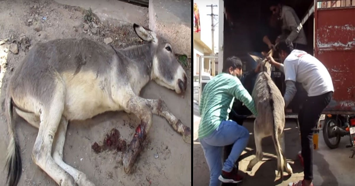 donkey abused loses leg 4.jpg?resize=636,358 - Rescuers Saved Abused Donkey - Almost Had Severed Foot