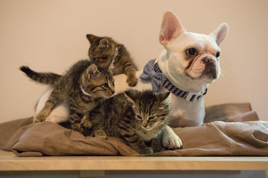 f5 5.jpg?resize=1200,630 - Nono, um Bulldog Francês, é um orgulhoso pai de gatinhos abandonados