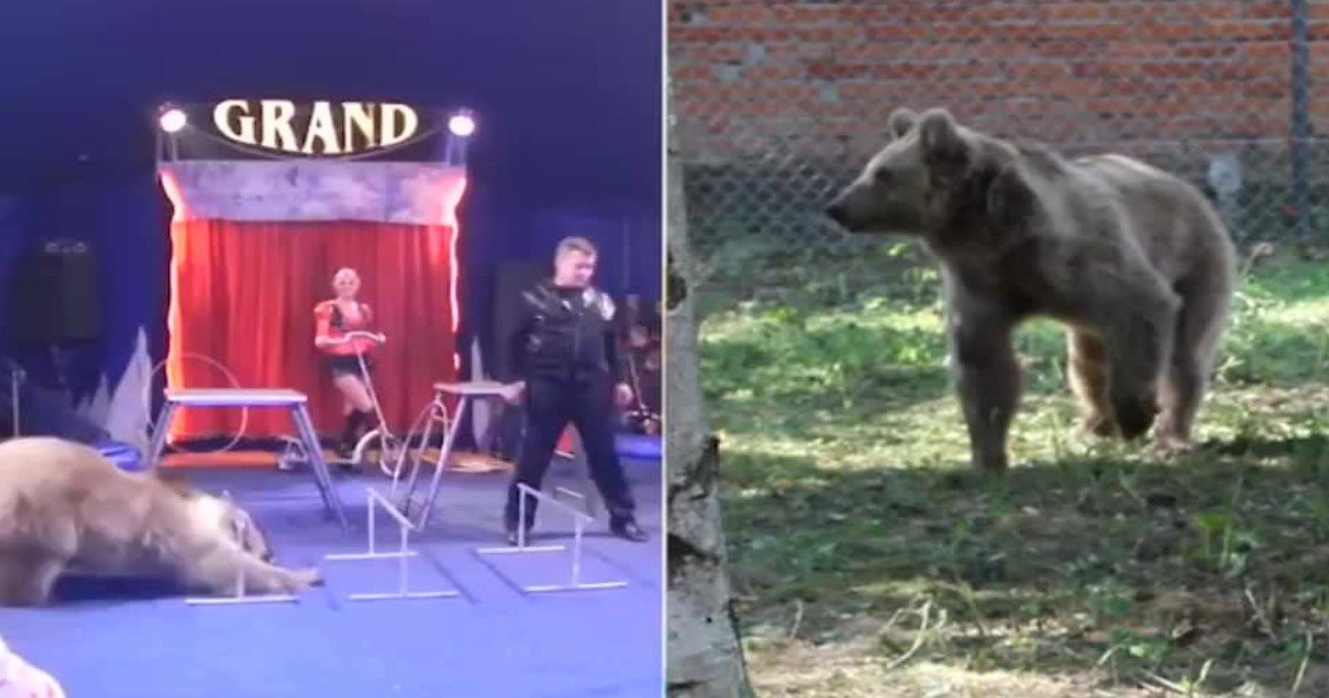 featured image 41.jpg?resize=636,358 - Touching Moment Masha The Circus Bear Who Was Forced To Perform Cruel Tricks For 19 Years Is Released Into Sanctuary