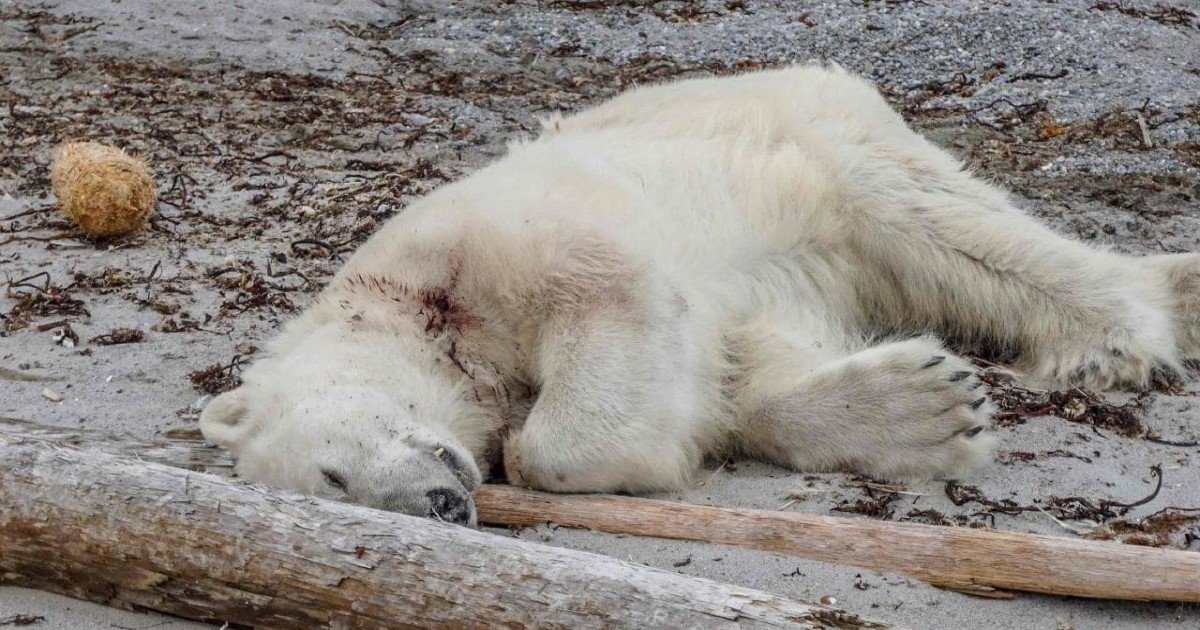 featured image 6.jpg?resize=636,358 - Fatal Shooting Of A Polar Bear By Cruise Ship Crew Has Sparked Outrage On The Internet