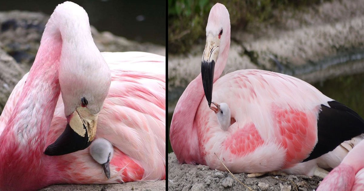 flamingo lay eggs london heat 15 years 5.jpg?resize=412,232 - Exotic Flock Of Pink Birds Lay Eggs In Britain For The First Time In 15 Years