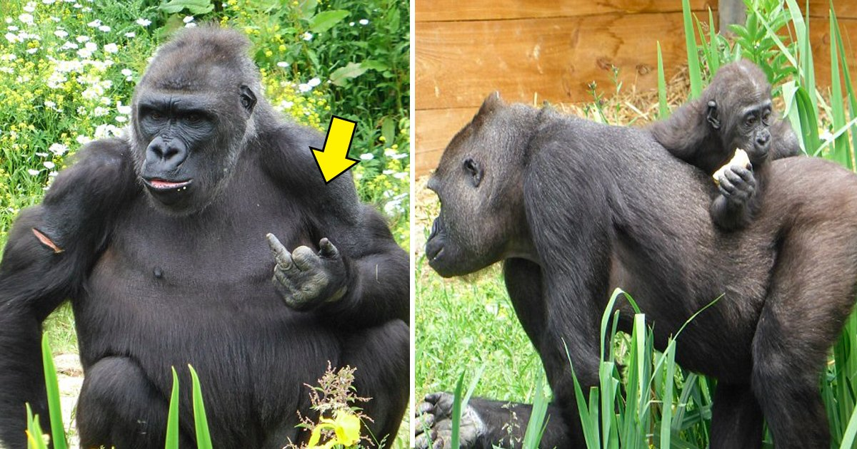 gagaagg.jpg?resize=412,232 - Bristol Zoo Gorilla Flips His 'Middle Finger' At The Visitors With A Mischievous Grin