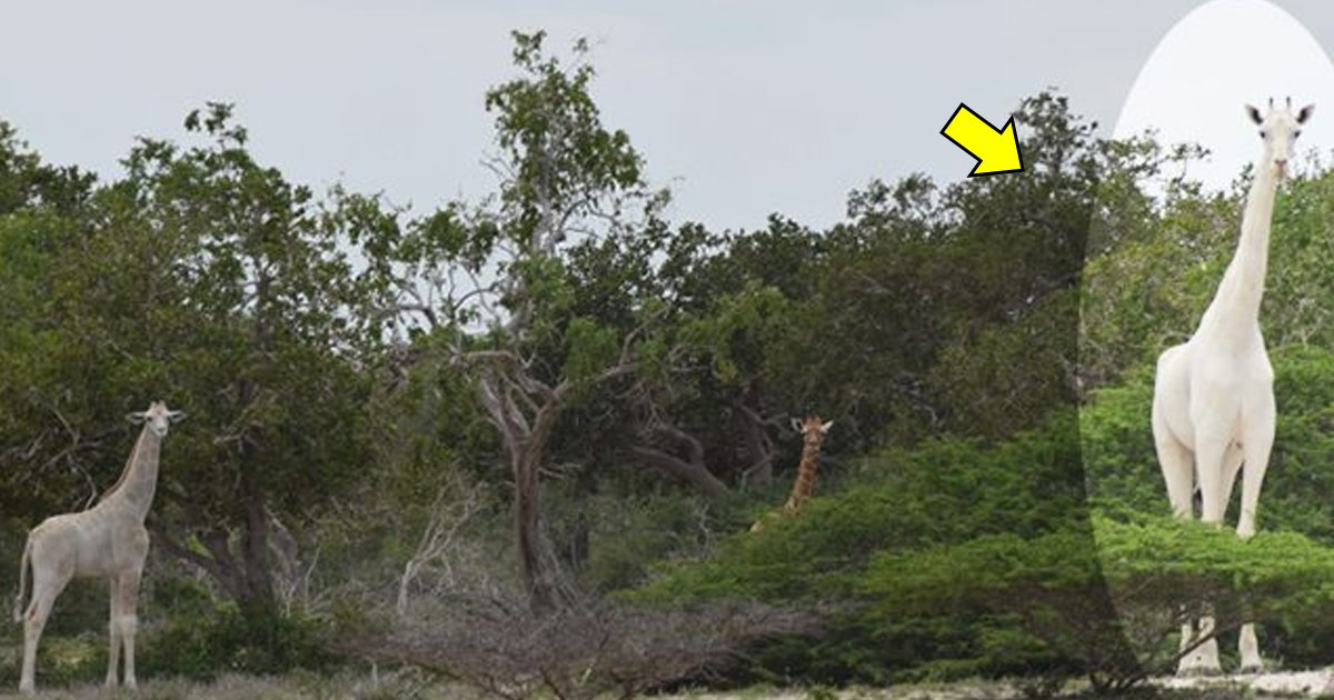 gtag.jpg?resize=636,358 - A White Colored Giraffe Discovered In The Hirola Conservation Program In Kenya