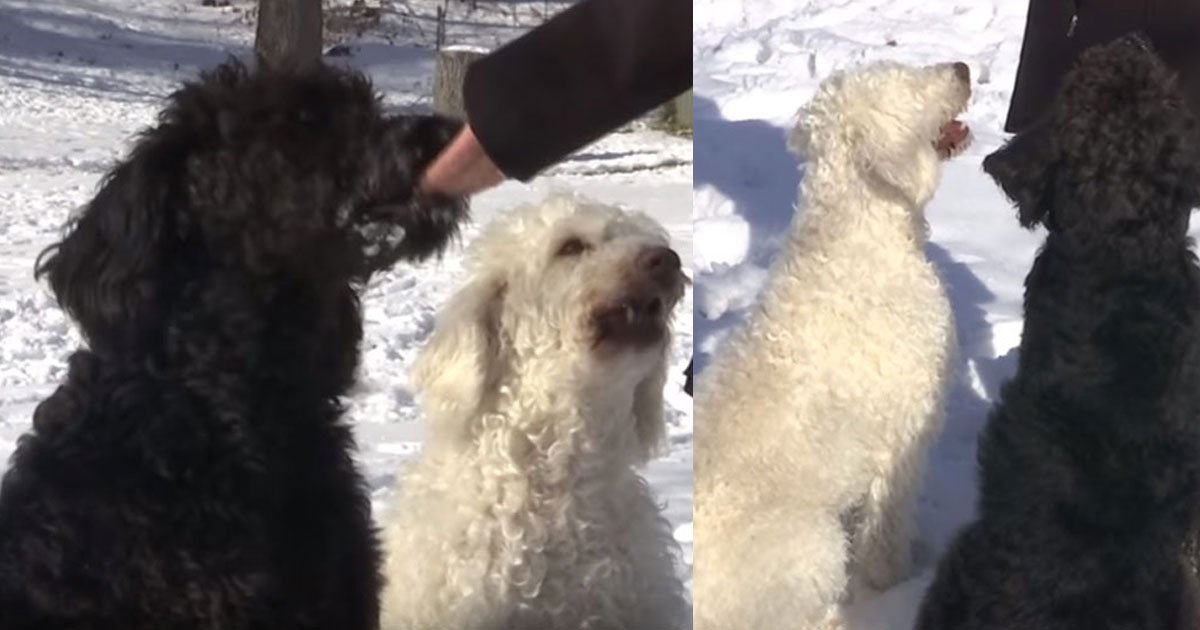 h 1.jpg?resize=636,358 - Two Labradoodles Saved An Elderly Woman From Freezing Outside The Home And Their Owners Are Proud Of Them