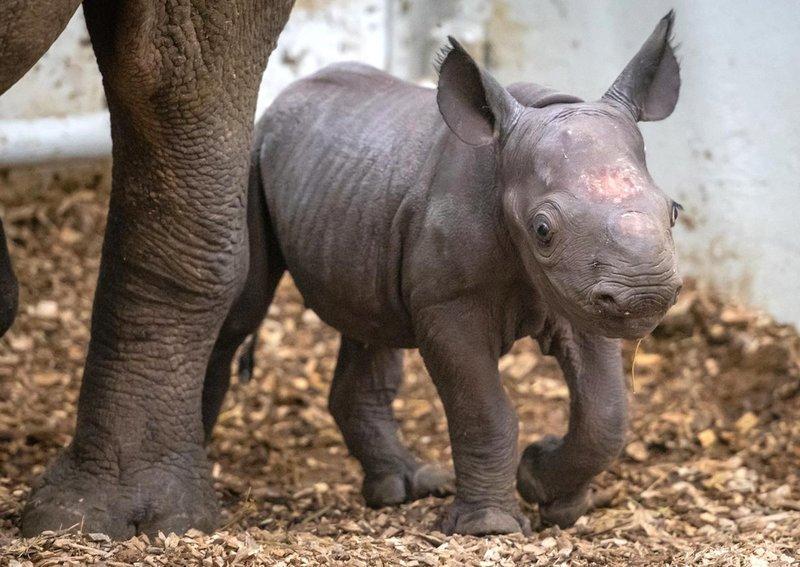 image 4.jpg?resize=1200,630 - Filhote de raro (e fofo) rinoceronte negro nasce em zoológico dos EUA