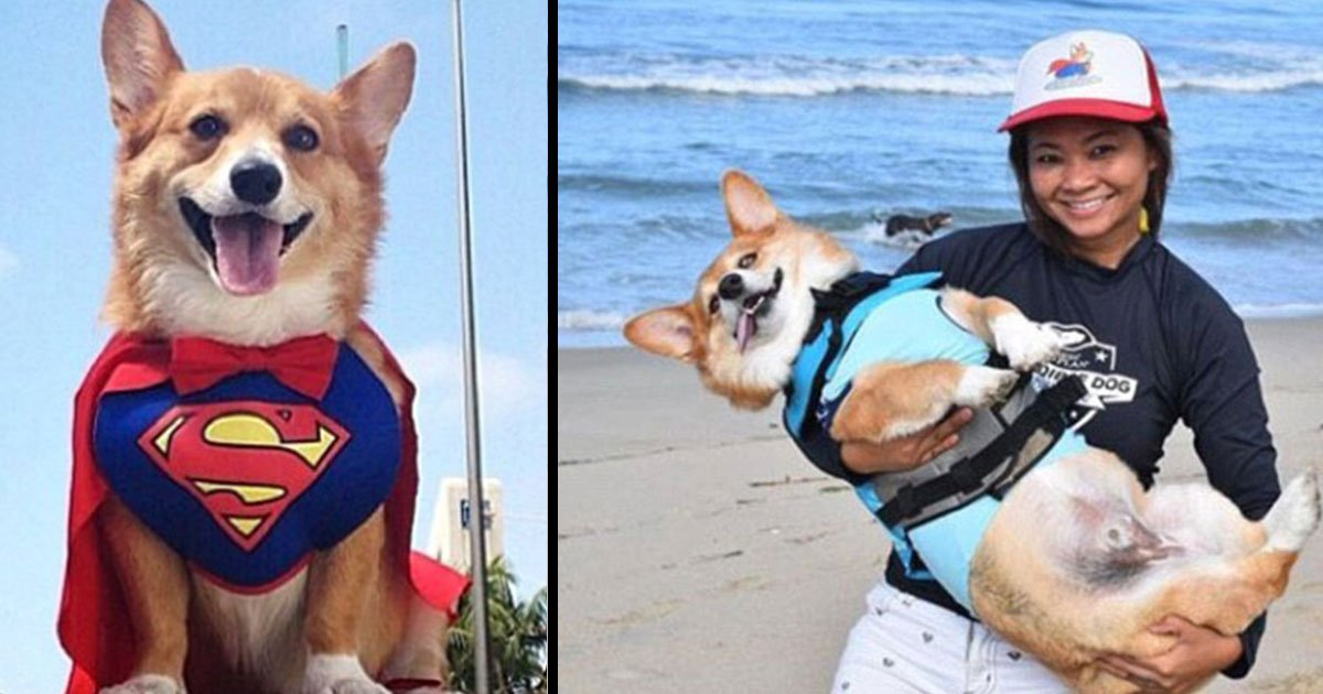 jojo corgi water therapy instagram 3.jpg?resize=636,358 - A California Corgi With Some Seriously Impressive Surfing Skills Has Become A Social Media Sensation