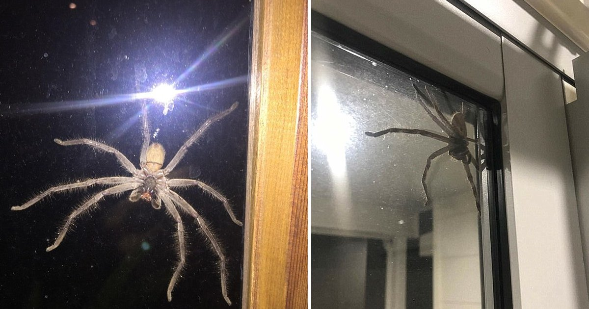 ljklkjl.jpg?resize=1200,630 - Australia's Biggest Spider Terrifies A Homeowner In Sydney As It Lurks Out Of The Window