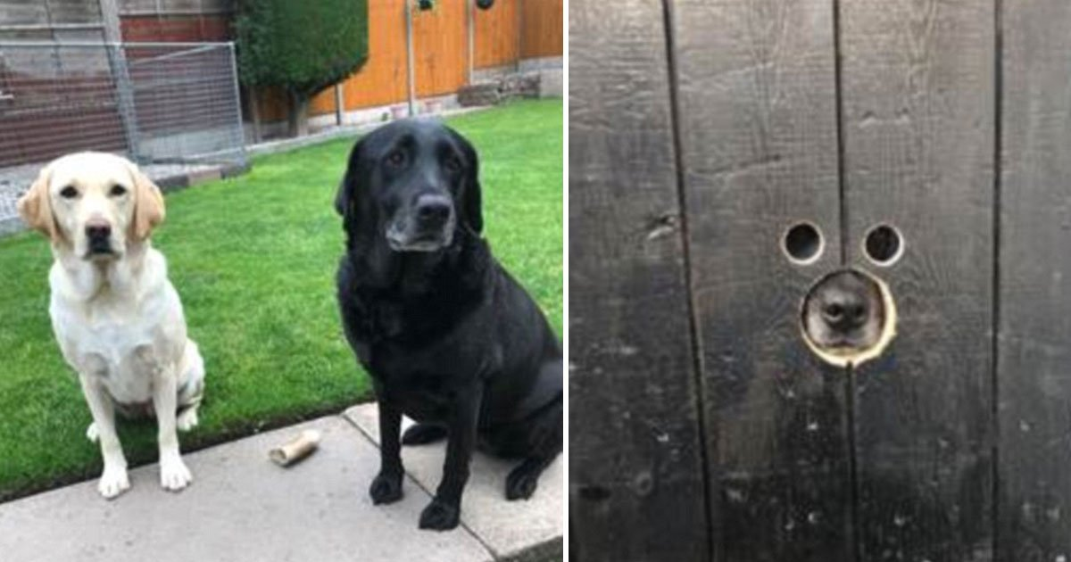 nosey dogs.jpg?resize=412,232 - Cette vidéo de deux labradors fouineurs profitant des nouveaux trous dans la porte du jardin et espionnant leurs voisins N'A PAS DE PRIX