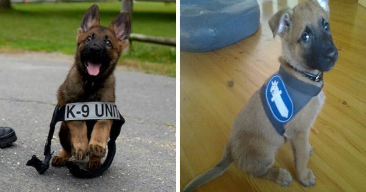 police puppy.jpg?resize=636,358 - 22 Adorable Police Puppies Trying To Look Tough, But Failing Miserably