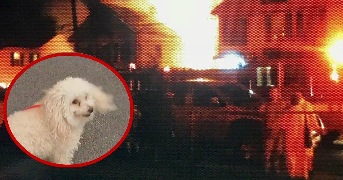 pooch saves family.jpg?resize=412,232 - Ce caniche blanc a sauvé deux familles d'un incendie grâce à ses aboiements