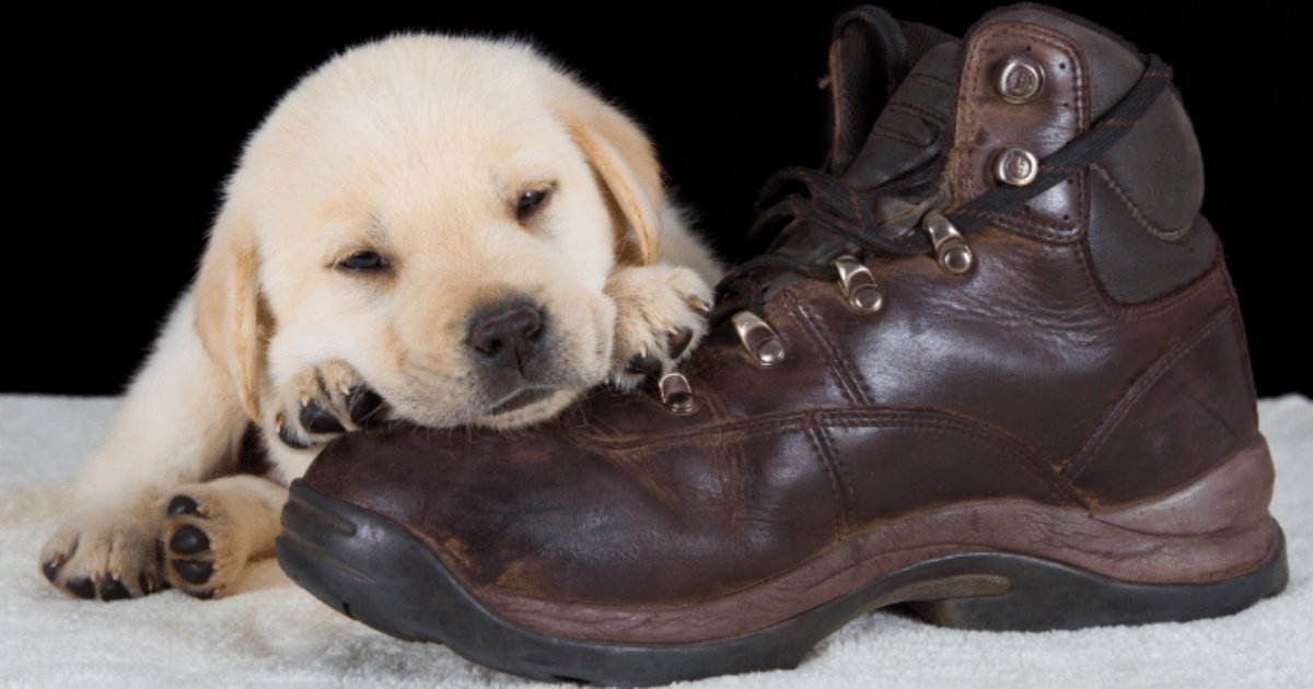 screen shot 2018 06 05 at 10.jpg?resize=636,358 - 35 Puppies Who Think Shoes Make The Perfect Pillows
