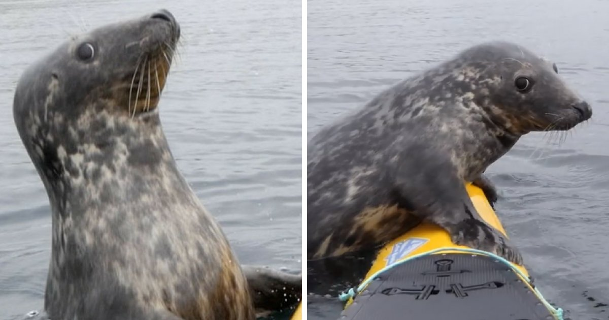 seal6.png?resize=636,358 - Adorable Seal Jumps Onto Kayak For A Quick Paddle, Gives Kayaker A Cute, Shy Look