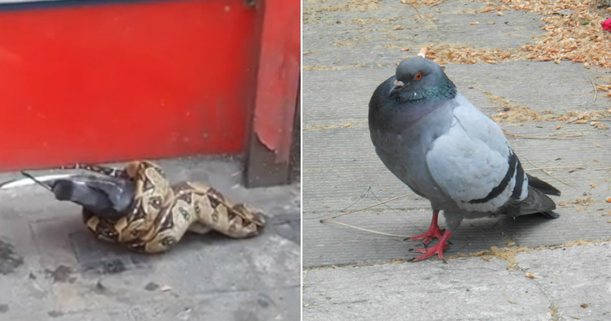 snake eat pigeon.jpg?resize=636,358 - Snake Devours Whole Pigeon In The Middle Of London Street