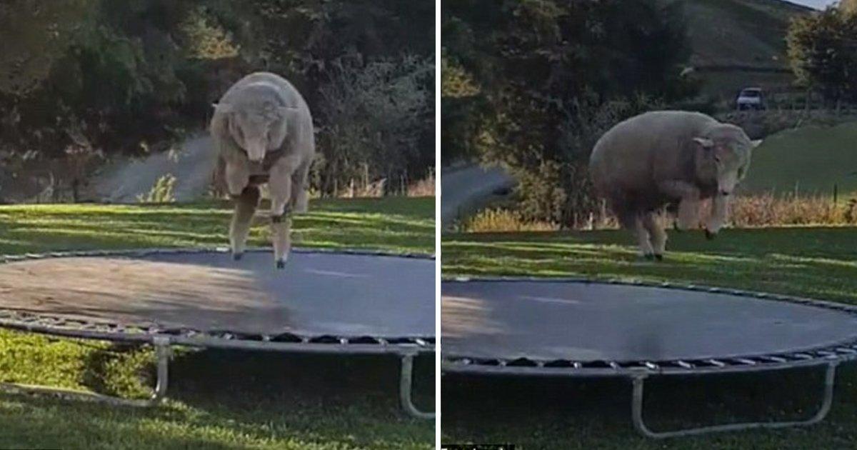 taha 1.jpg?resize=636,358 - World Goes Gaga Over The Adorable Sheep 'Bacon' Enjoying On The Trampoline In The Backyard