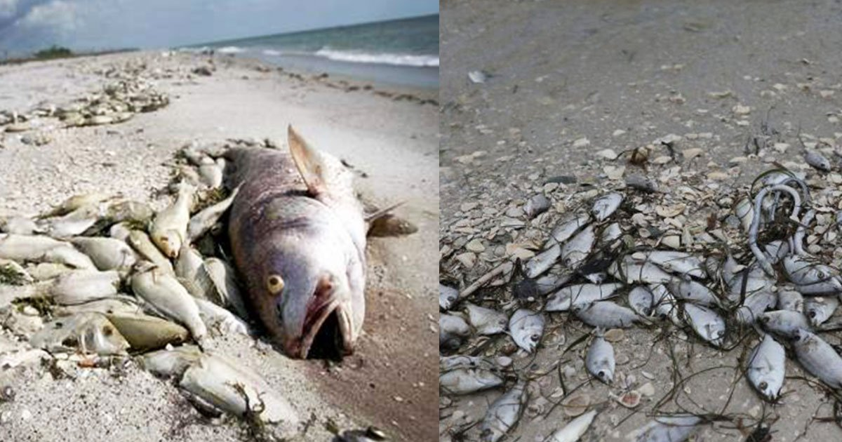 toxic red tide blooms are killing marine life in florida.jpg?resize=300,169 - Toxic 'Red Tide' Blooms Are Killing Marine Life In Florida