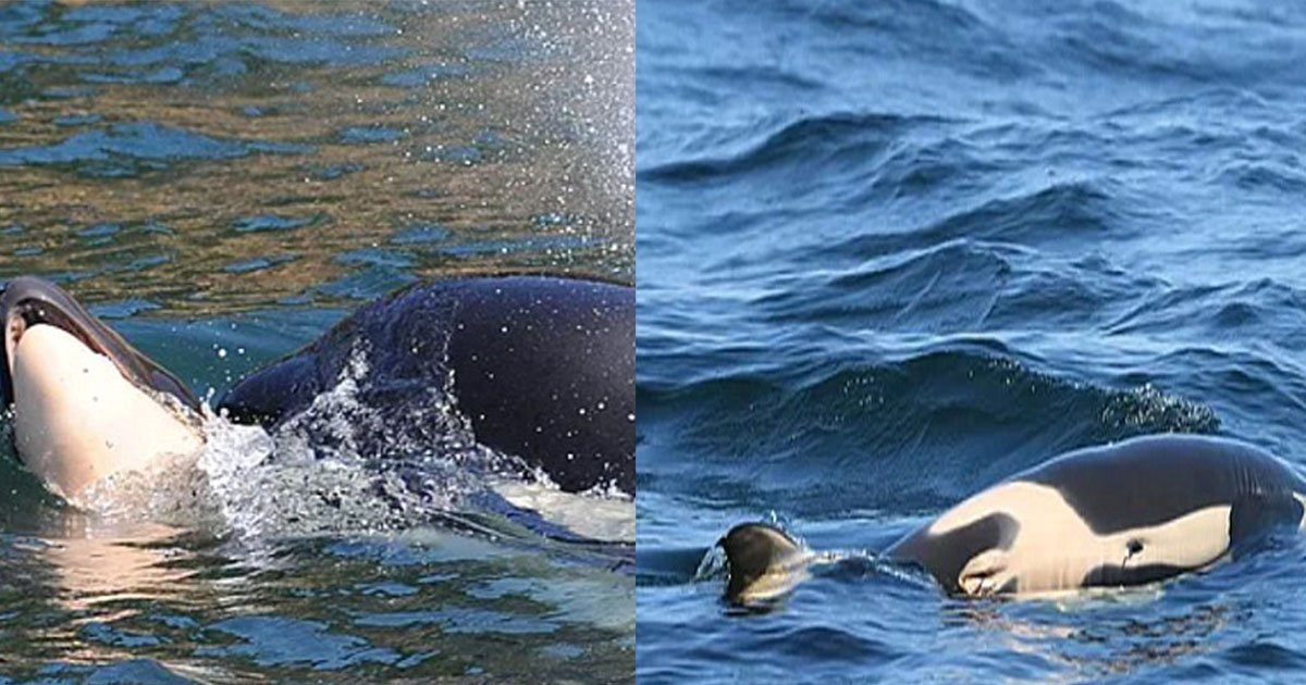 untitled 1 7.jpg?resize=636,358 - Les images d'une orque portant le corps de son bébé 17 jours après sa mort sont déchirantes à voir