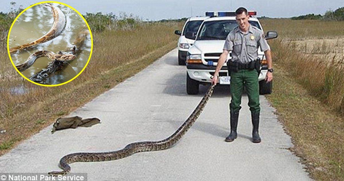 vva.jpg?resize=1200,630 - Conheça a super cobra Everglade: uma espécie extremamente adaptável descoberta por pesquisadores da Flórida