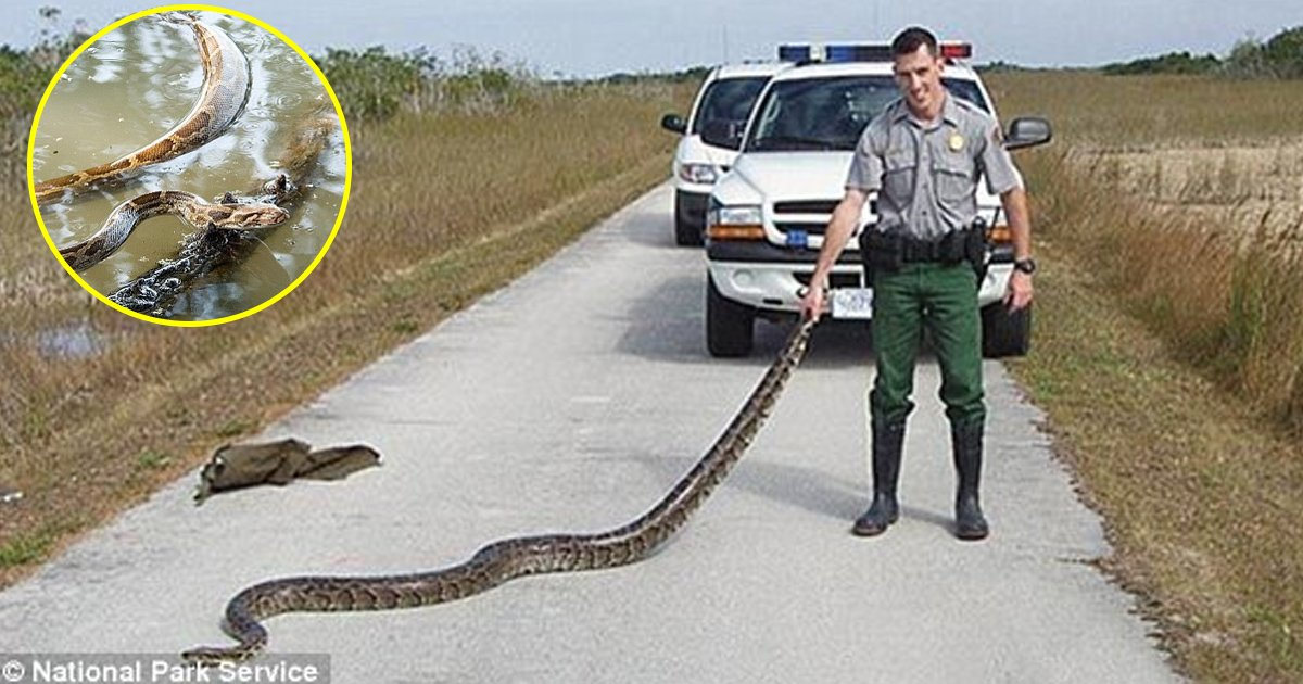 vva.jpg?resize=412,232 - Researchers From Florida Said Crossbreeding Can Give Highly Adaptable Snakes