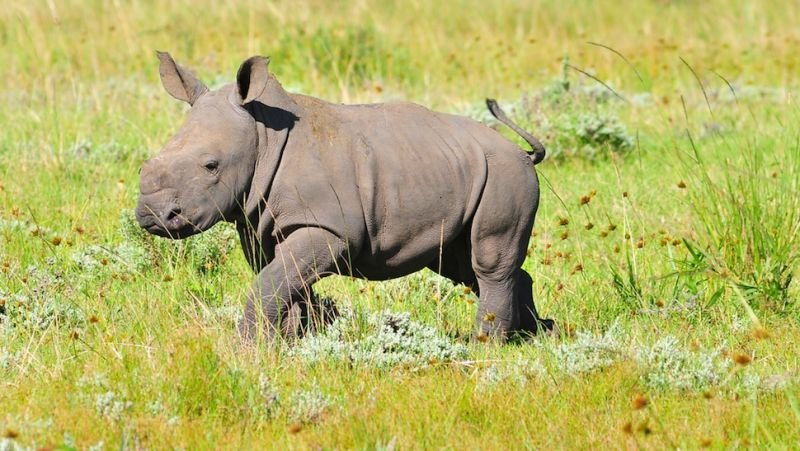 1378463635067405157.jpg?resize=1200,630 - Rinoceronte bebê ferido se recusa a deixar sua mãe depois que ela foi morta por caçadores