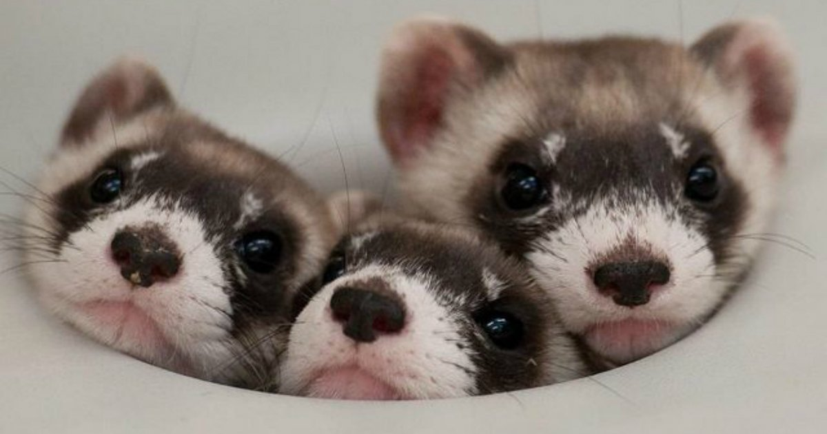 14 87.jpg?resize=1200,630 - 25 Ferrets Who Will Make You Wish You Had a Ferret
