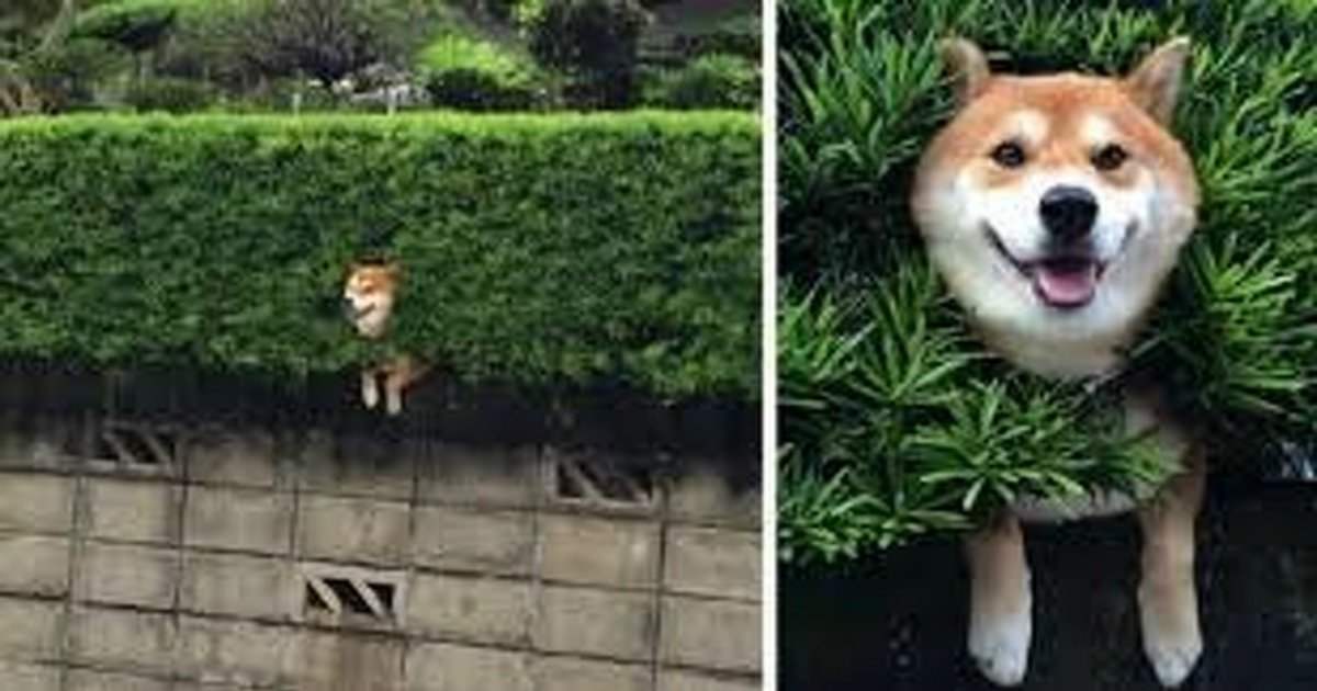 15 41.jpg?resize=636,358 - 16 Reasons Why Shiba Inu Dogs Might Conquer the World