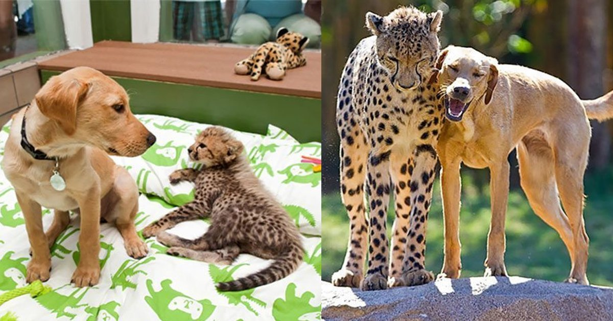 2 238.jpg?resize=636,358 - 14 Adorable Before And After Photos Of Animals Growing Up Together