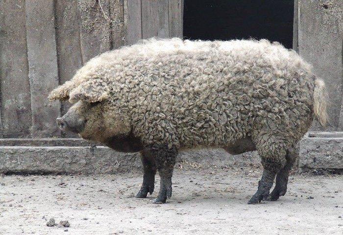 Cerdo Mangalica o peludo