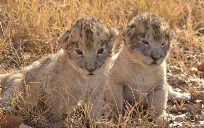 2rgpbvi990mzdswcc6kvzul54.jpg?resize=1200,630 - Momento inédito na história da humanidade: Leões nascem a partir de inseminação artificial