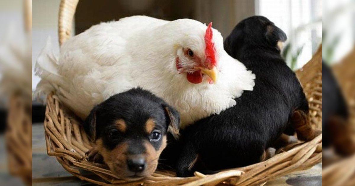 4 162.jpg?resize=1200,630 - 15 Madres gallinas muy graciosas que hicieron todo lo posible para cuidar a sus extraños bebés