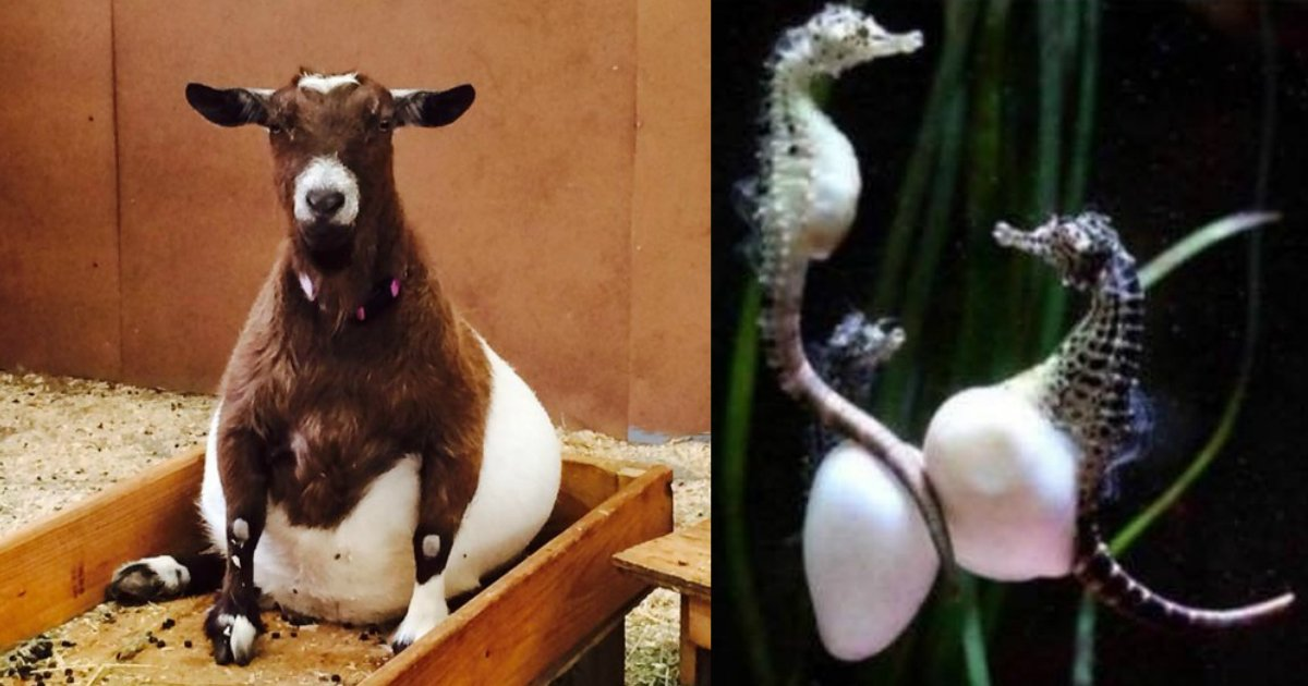 5 111.jpg?resize=1200,630 - How 21 Animals Look Before Giving Birth (New Pics)