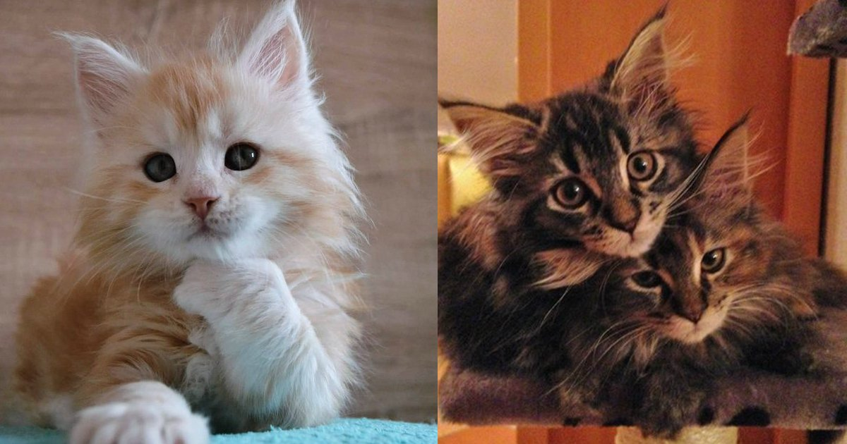 6 58.jpg?resize=1200,630 - 22 Of The Fluffiest Maine Coon Kittens Ever