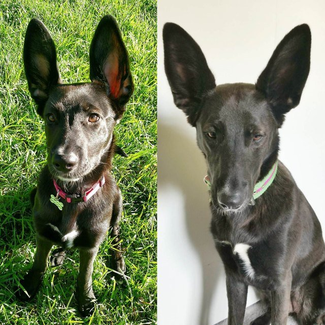 Side-by-side photos of dog with huge ears as a puppy and an adult.