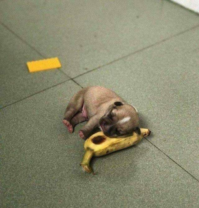 Puppy asleep on a banana