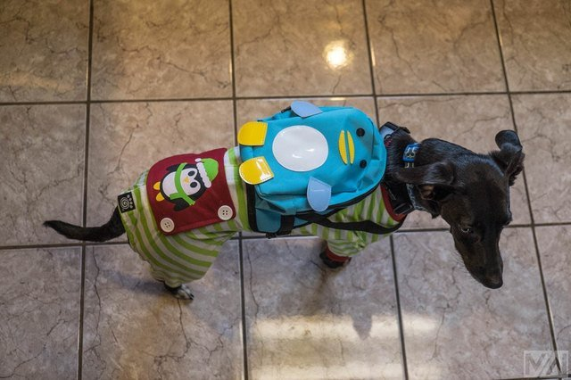 Dog wearing a backpack shaped like a penguin and a onesie with a penguin on it.