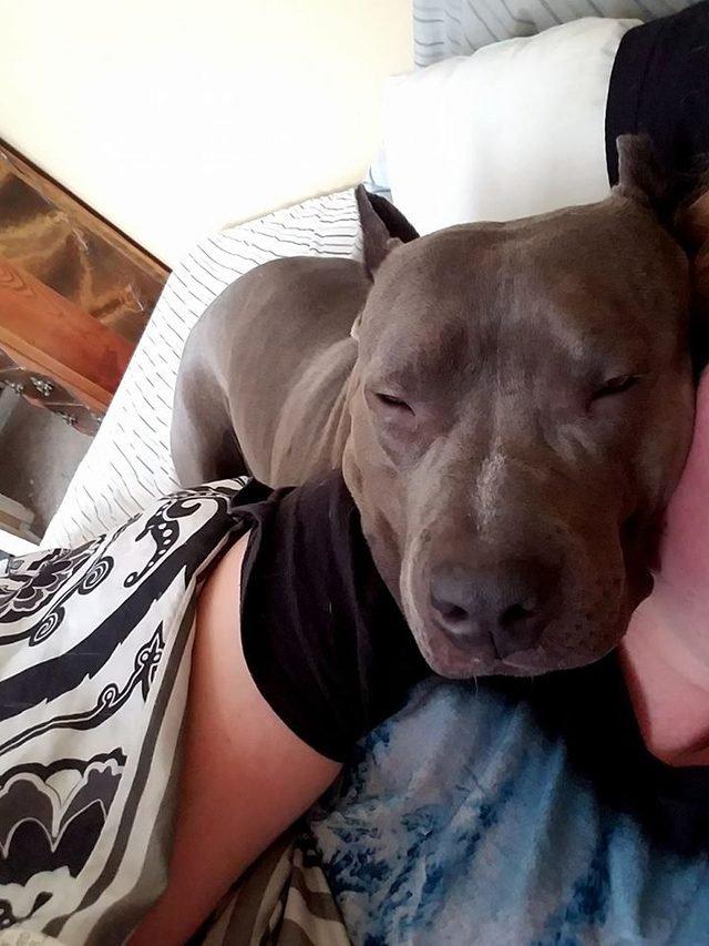 Sleepy pitbull