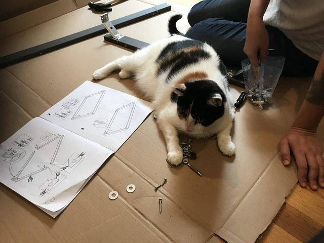 Cat looking at hardware for unassembled table.